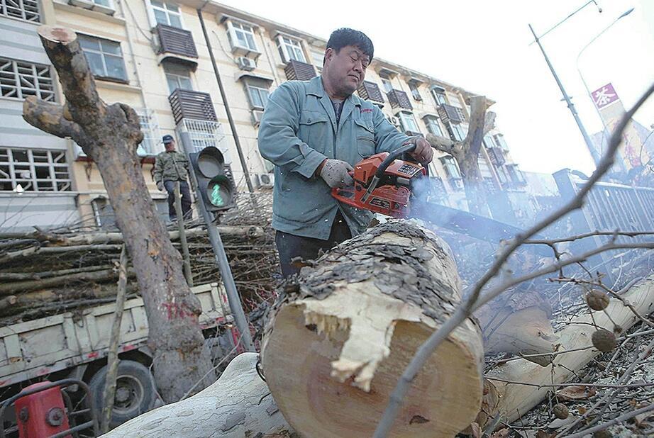 济南张庄路近百棵大树搬家为轨交站点让路
