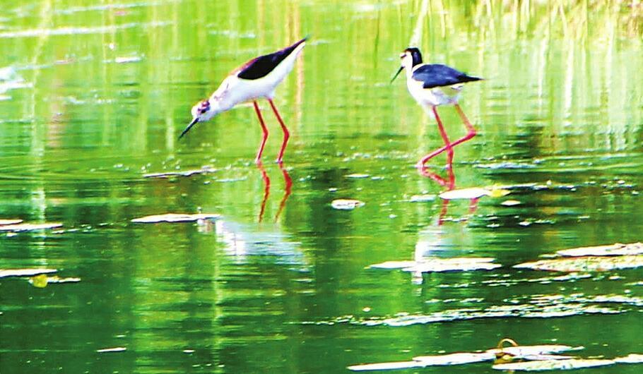 """珍稀野生保护鸟类在平阴玫瑰湖湿地""""安家"""""""