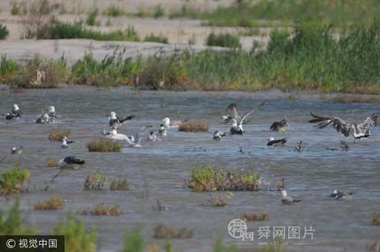 青岛:夏日高温候鸟翔集湿地 濒危黑嘴鸥现身滩涂