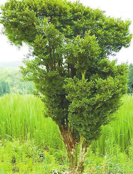 济南百年黄杨树不翼而飞 盗贼推墙钻洞运走珍贵古树