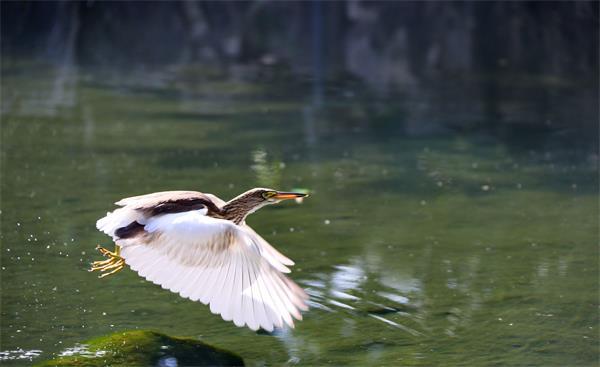 瞧!济南趵突泉边的池鹭