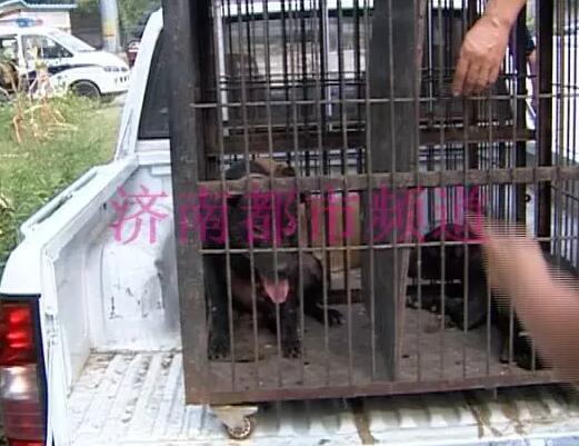 济南男子被恶犬咬伤面临截肢 狗舍里全部都是禁养犬种比特犬!