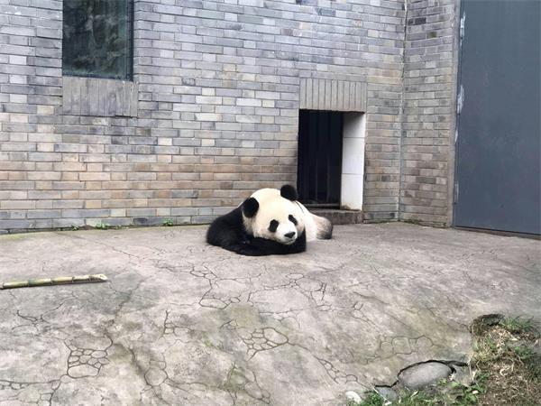 大熊猫雅吉要来啦 全济南第二只哦