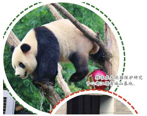 大熊猫雅吉入住济南动物园
