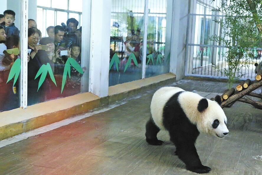 """""""网红""""大熊猫雅吉与游客见面 吸引了众""""粉丝""""围观"""