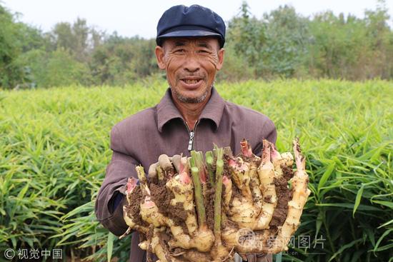 山东安丘大姜收获季 11.6斤重大...