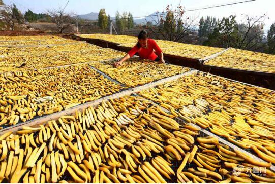 棗莊地瓜喜豐收 深加工后電商銷售增值十幾倍