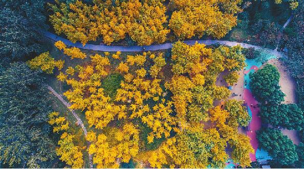济南:满城尽是黄金甲 欣赏银杏正当时