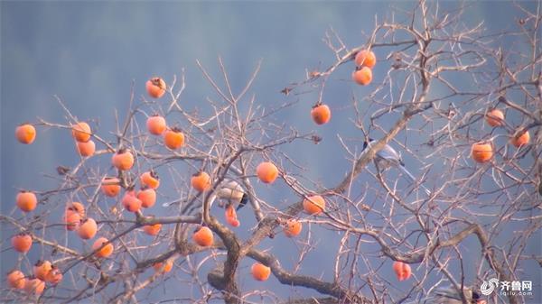 立冬也很美!银杏叶落金满园 芦花飞雪迷人眼