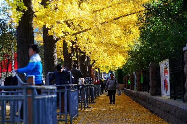 济南:黄叶飘舞暖融融 入冬还需等时日