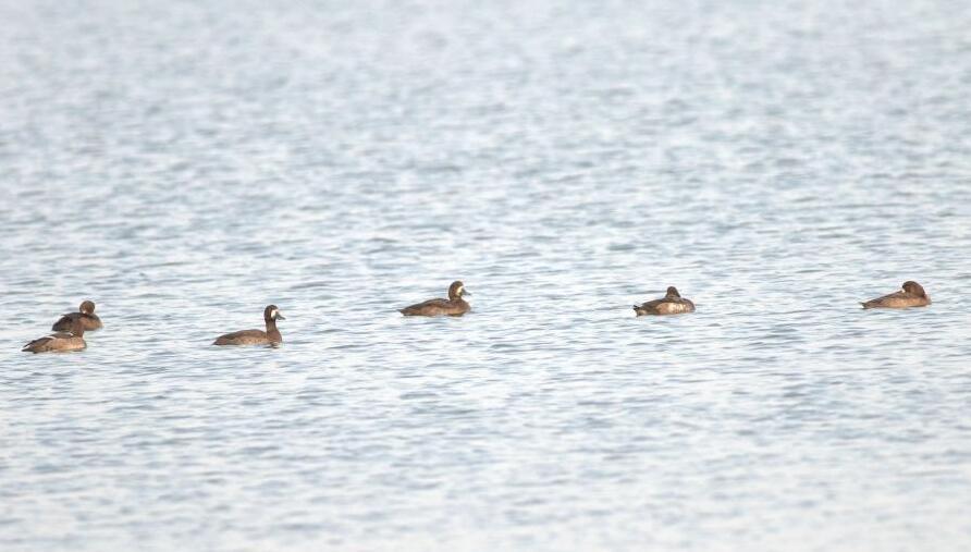 候鸟大军过境青岛 濒危灰鹤现身胶州湾湿地