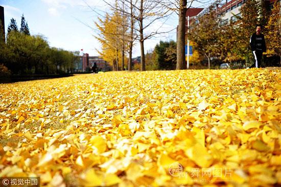 青岛:初冬第一场飘雪 校园落叶金黄
