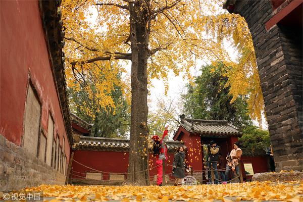 山东邹城:初冬银杏叶成美景 孟庙内金黄树叶落满地
