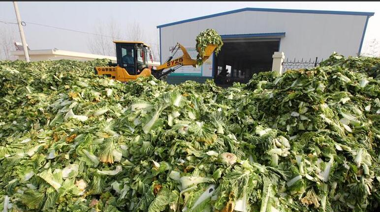 山东枣庄:废弃白菜帮加工肥料、饲料  变废为宝