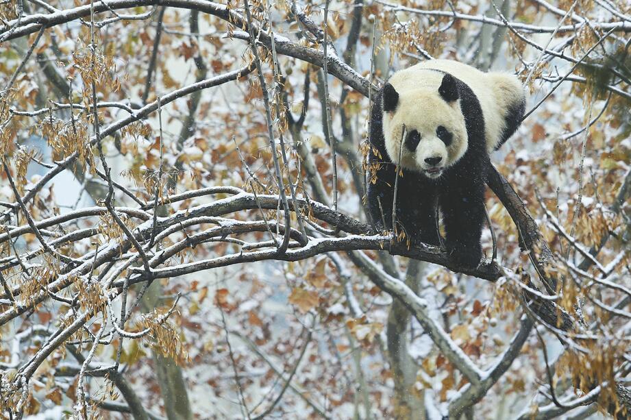 济南迎来今冬首场降雪 动物园里的大熊猫戏雪乐翻天