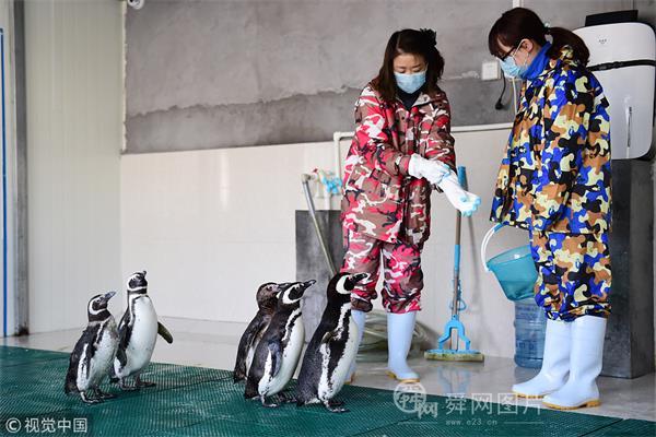 青岛女子饲养企鹅12年 忙碌时一个月回家一次