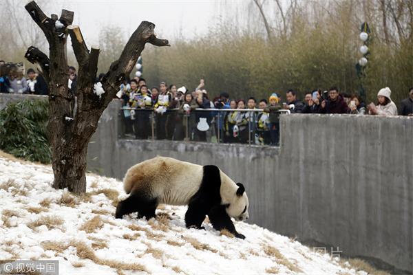 山东泰安:熊猫开馆首日 国宝熊猫圈粉无数
