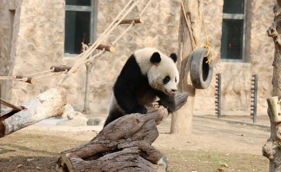 原标题:济南动物园新家diy,这些动物家更漂亮了 值班主任:李欢