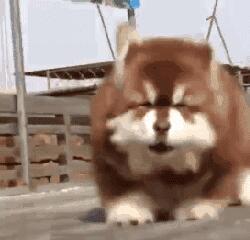 萌翻了!熊版阿拉斯加成网红 大号玩具熊笑容甜美可爱到犯规