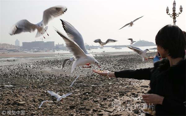 青岛:红嘴鸥卖萌讨饭吃