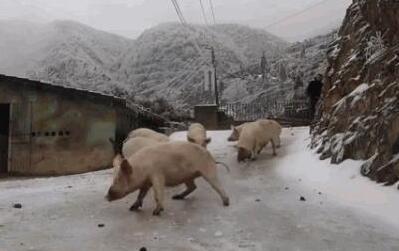 """萌翻!第一次见到雪的猪太兴奋 组团""""花式滑冰""""把自己累瘫"""