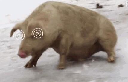 """第一次见到雪的猪太兴奋 组团""""花式滑冰""""把自己累瘫"""