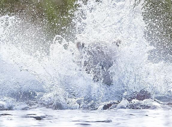 二货棕熊捕鱼动作笨拙惨跌倒窘态十足 抓鱼玩水傻傻分不清