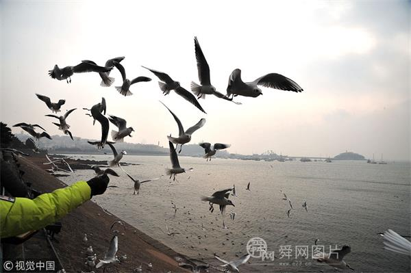 青岛:越冬海鸥翱翔天际 争相觅食惹人爱