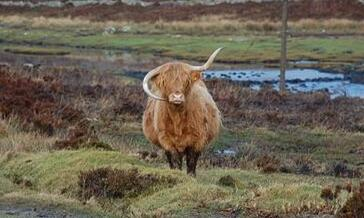 高原母牛牛角倒长酷似蓝牙耳机 奇特长相成小岛上的名人