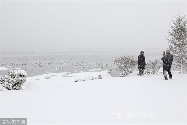 山东威海:天鹅大雪中游弋 引游客冒雪观赏