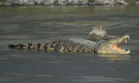 鳄鱼戴轮胎项圈2年来痛苦地存活着 人类乱丢垃圾对动物造成伤害