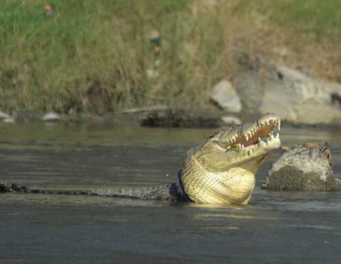 残忍!4米长鳄鱼戴轮胎项圈 如果轮胎不被及时取下它可能会被勒死