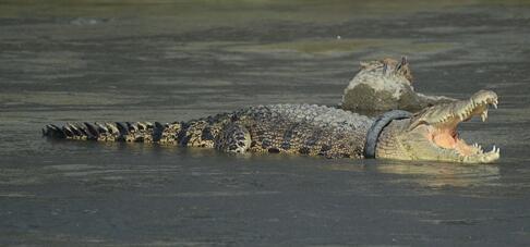 鳄鱼戴轮胎项圈长达2年 几乎灭绝的暹罗鳄另类形象现身印度