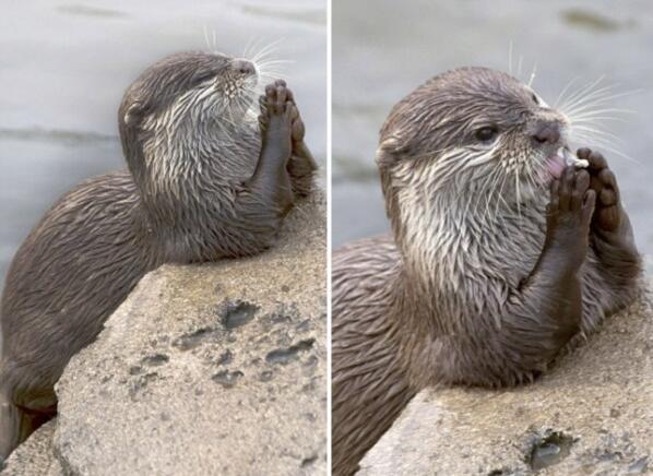 呆萌可爱!荷兰动物园水獭走红 双手合十祈祷还能得到回应(图)