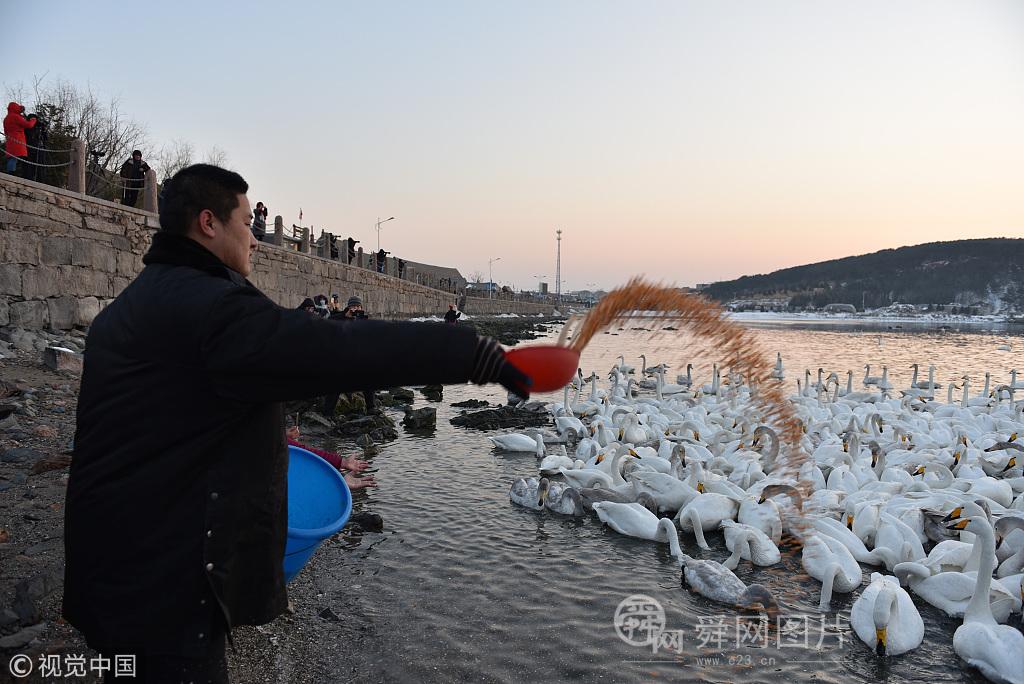 """山东威海:野生大天鹅被村民奉为""""贵宾"""" 每天要喂500斤玉米"""
