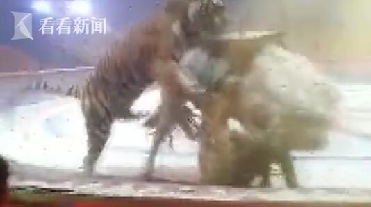 """马戏团排练""""狮子骑马""""出意外 狮..."""