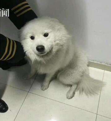 """成精了萨摩耶乘地铁出走 """"逃票""""小狗不情愿地被请下车"""