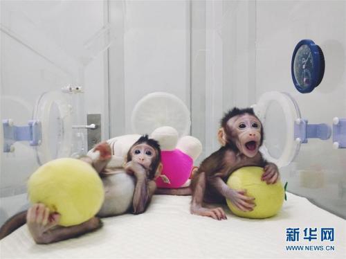 一模一样!两只克隆猴诞生 突破无法克隆