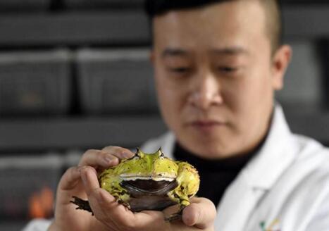 现实版蛙爸走红:他养的蛙比游戏...