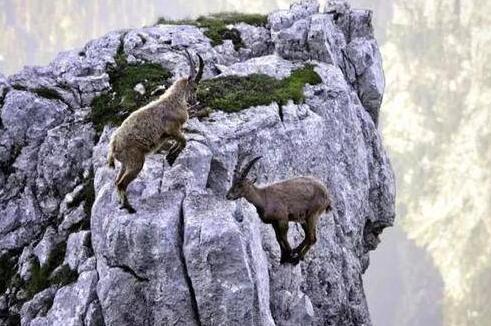 羊中豪杰!两山羊悬崖边搏斗勇者胜 输者无畏勇敢跳下悬崖(组图)