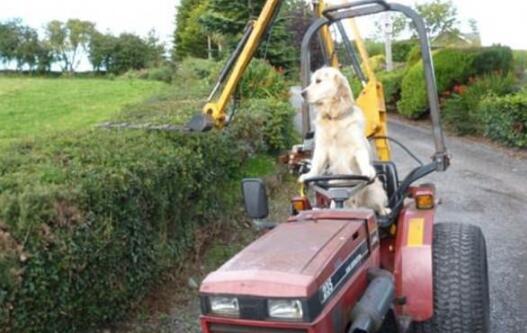 金毛犬开拖拉机帮主人干农活 狗狗能独自驾驶拖拉机技能惊人