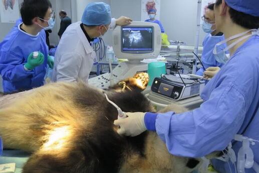 心疼!大熊猫成就患病 通过B超和腹腔镜探查确诊为