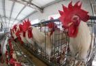 难以置信!日本鸡场鸡粪发电 经处理后1小时可传输6250千瓦电力