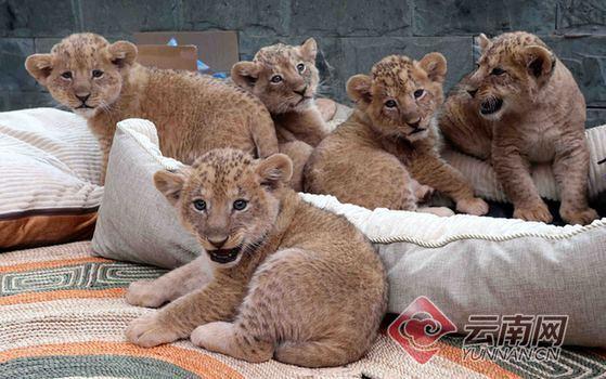 五胞胎非洲狮亮相 萌态十足!