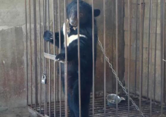 啼笑皆非!误把熊当狗养3年被收 捡来的