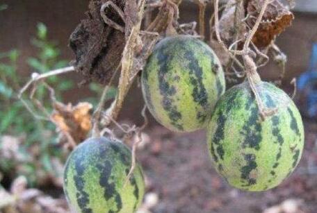 可以降血糖、减肥的宝贝 许多农民却把它们当作野草!太可惜了