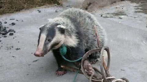 呆萌!小獾猪闯入四川居民家中偷吃 警察蜀黍:已批评教育并放生