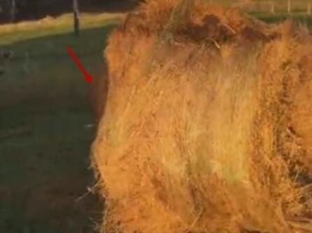 农场一草堆在滚动以为是小孩在玩耍 看清后忍不住笑了