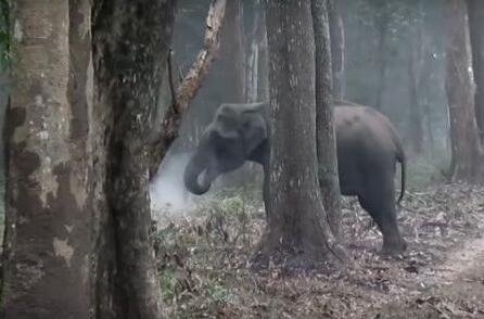 """一头印度大象被拍到""""吸烟"""":吞云吐雾画面销魂"""