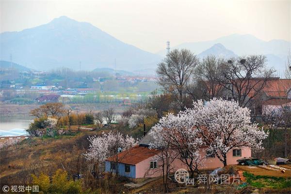 青岛:杏花樱花齐盛开 美景如画
